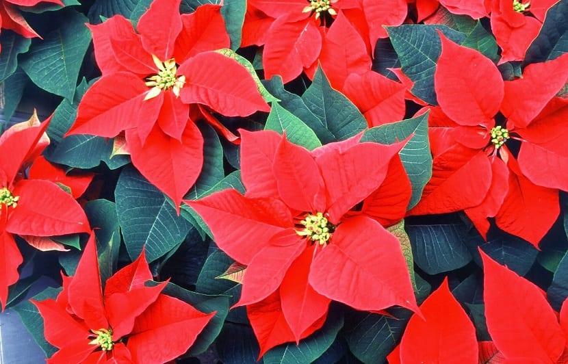 los pascueros son las flores que se regalan en navidad