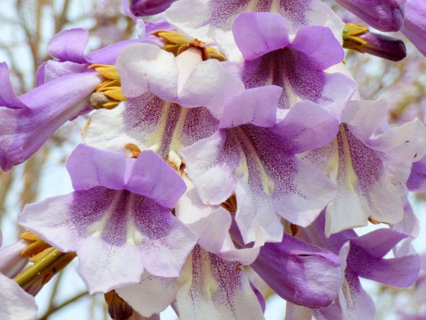 Flores de Pawlonia tomentosa