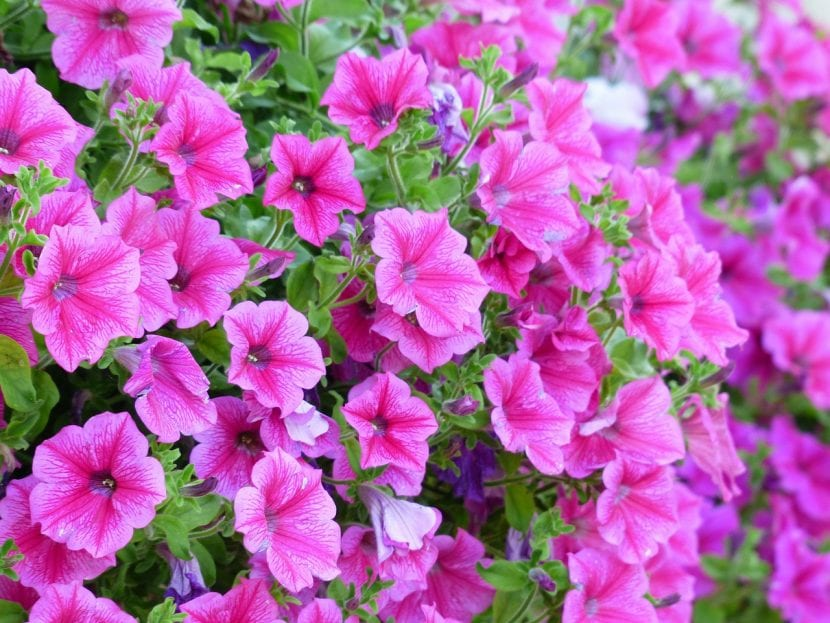 Petunias de flor rosa