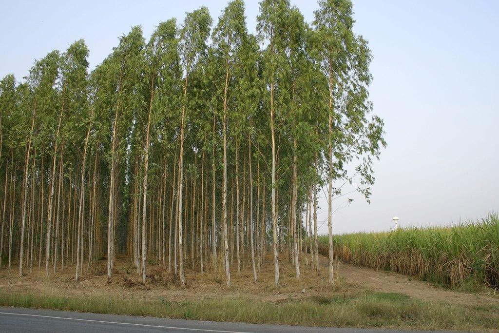 Plantación de eucaliptos