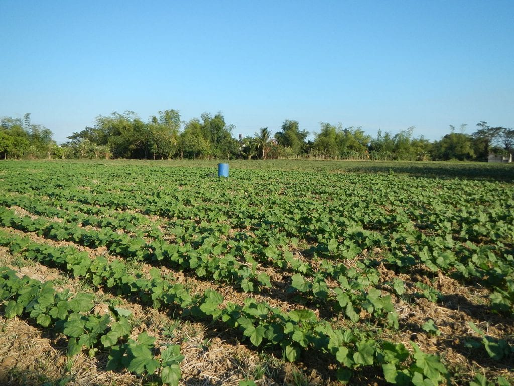 Plantación de ocra