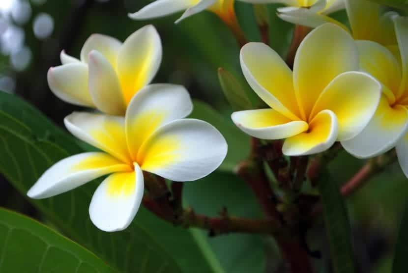 Flores de la Plumeria o frangipani