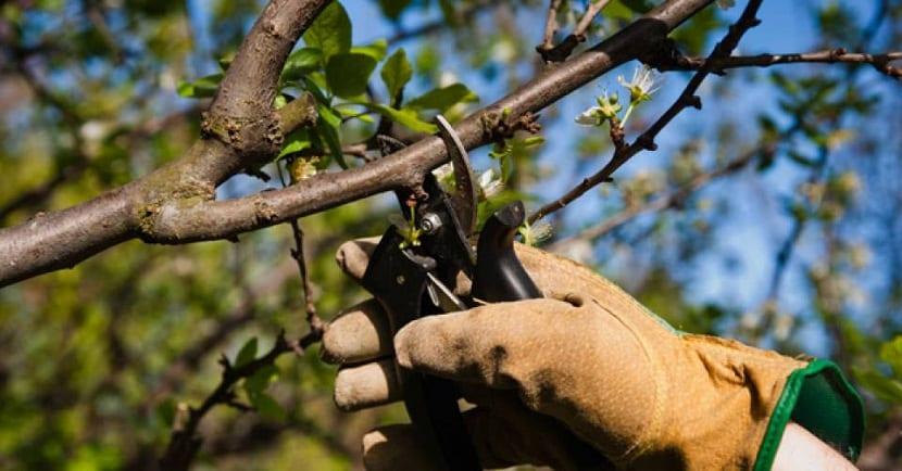 aprende a podar manzanos y perales