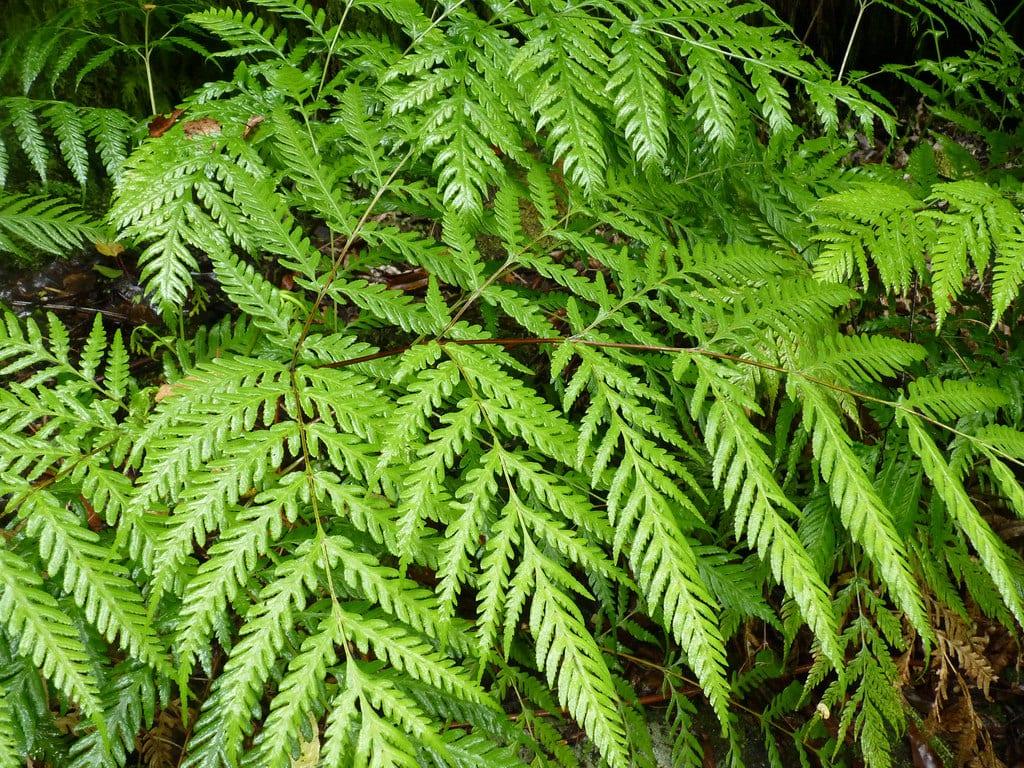 Vista de las hojas del Pteris berteroana