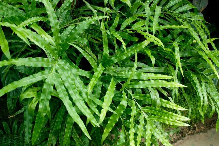 Detalle de las hojas de Pteris cretica