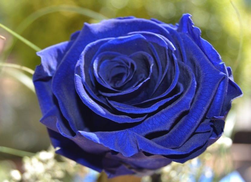 Rosa de color azul