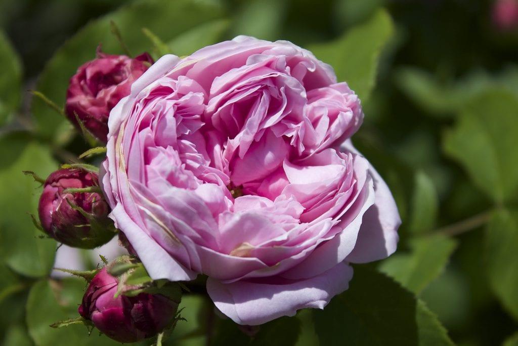 Rosa damascena en flor