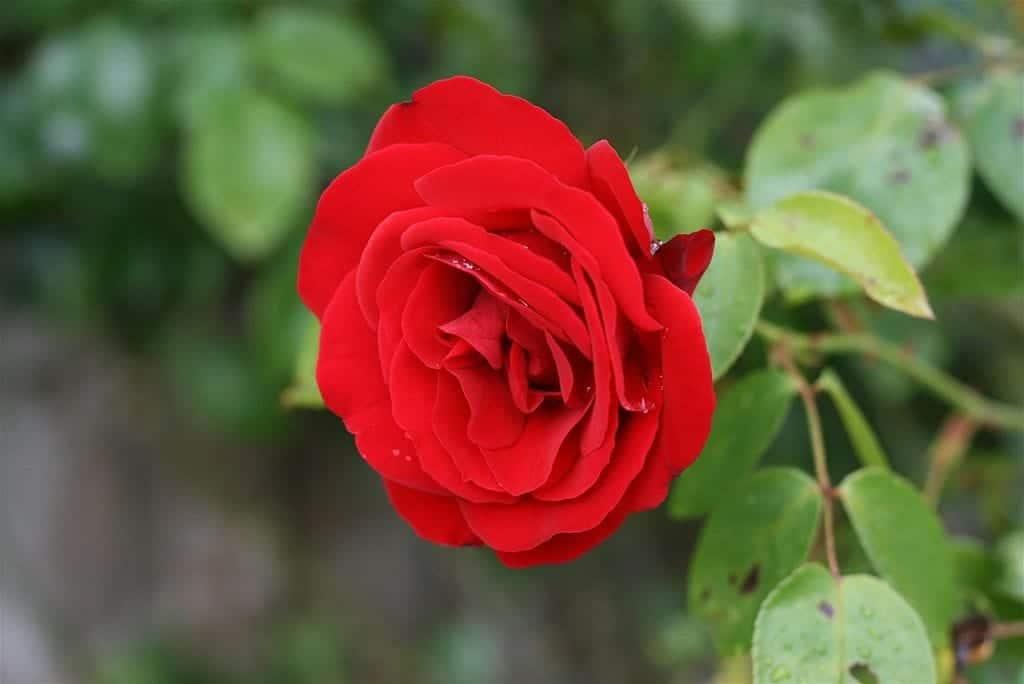 Rosa damascena de flor roja