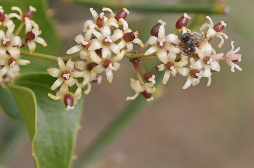 Flores de Smilax aspera