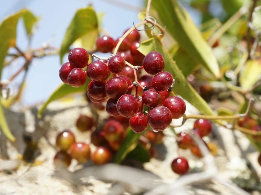 Frutos de Smilax aspera