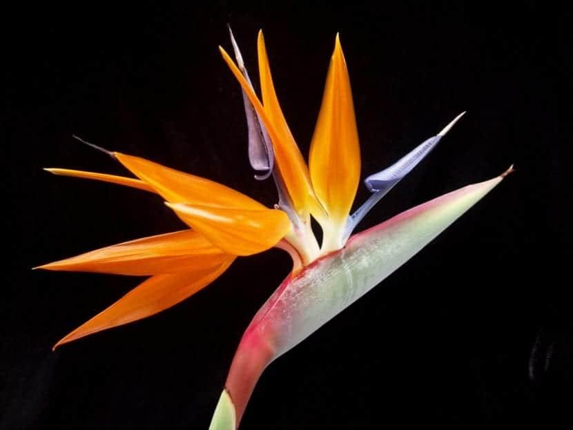 Strelitzia reginae o Ave del Paraíso en flor