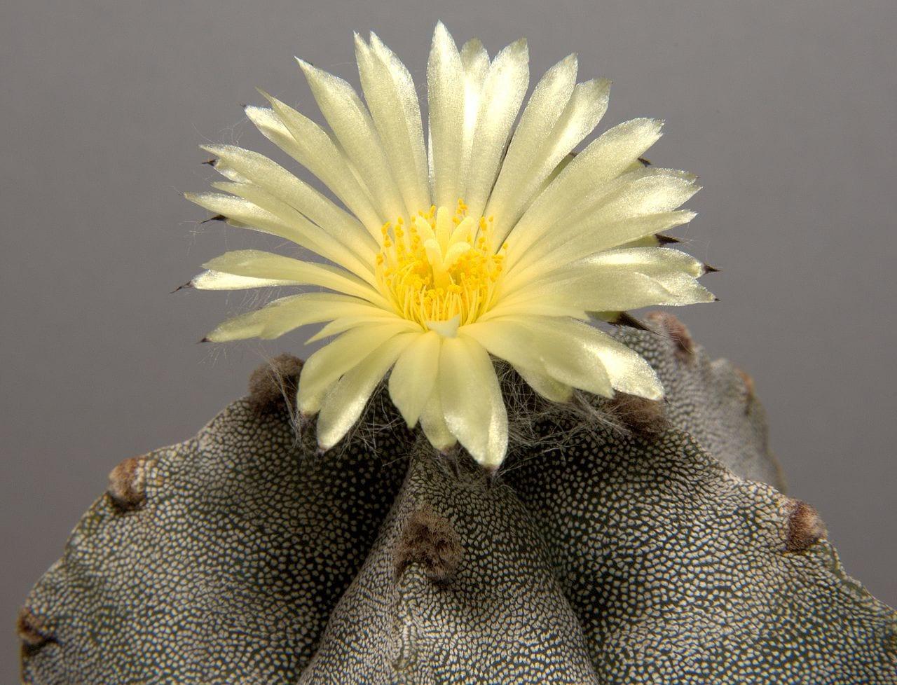 Astrophytum myriostigma en flor