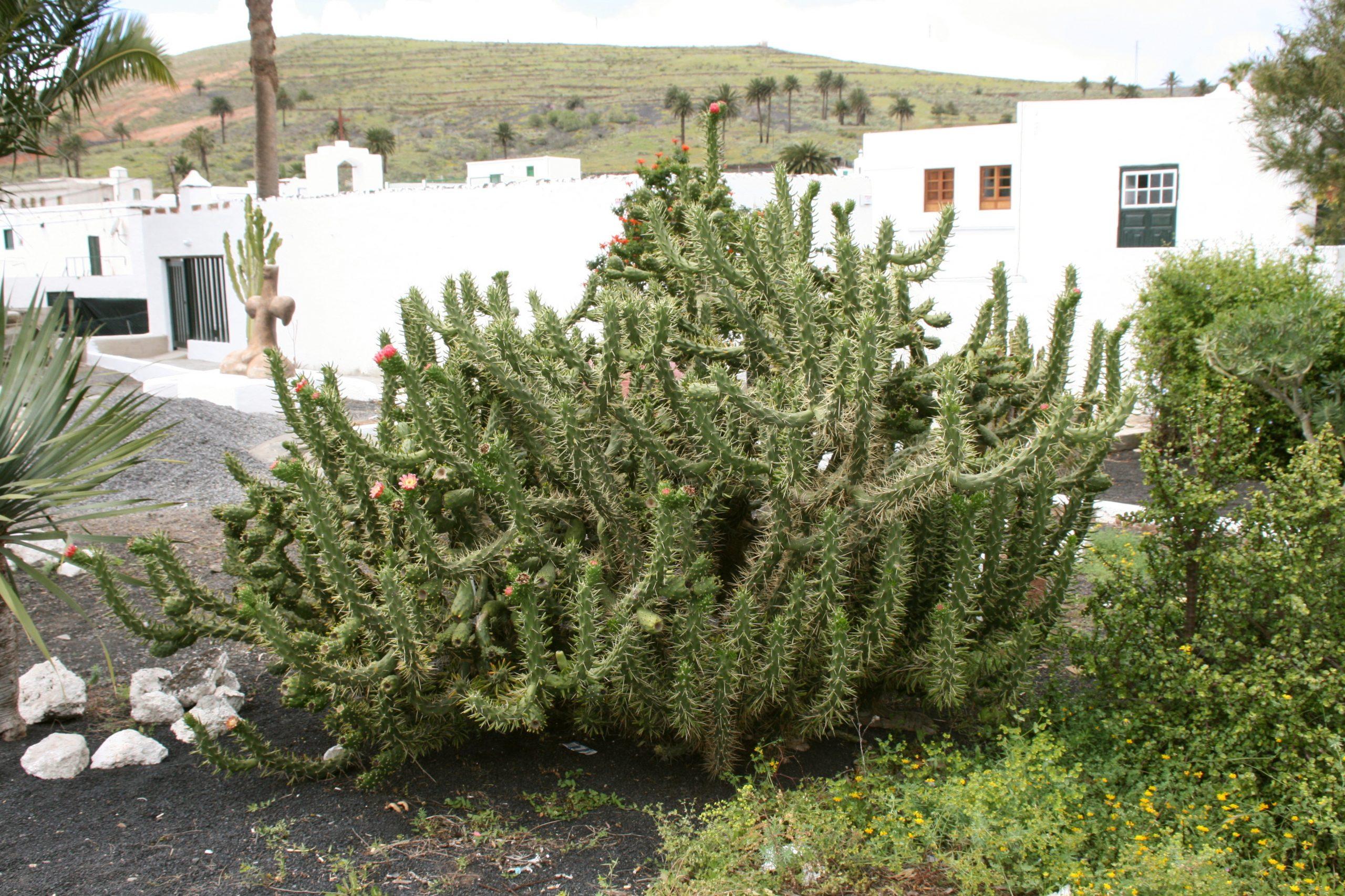 Austrocylindropuntia subulata, uno de los cactus más comunes