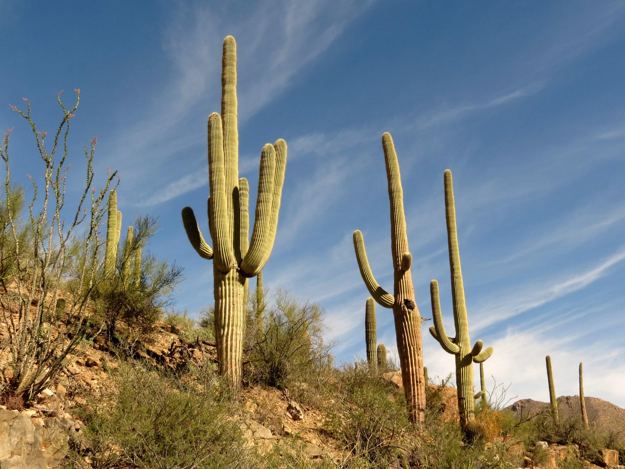 Carnegiea gigantea, el saguaro