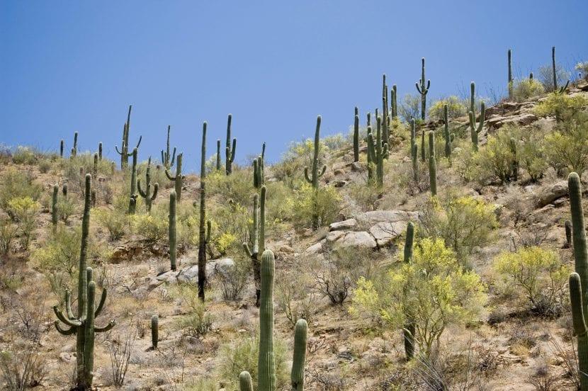 Cactus Saguaro en hábitat