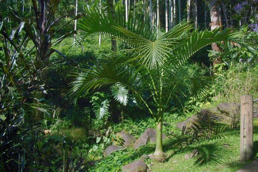 Palmera joven de Carpoxylon macrospermum