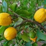 Árbol de Citrus medica