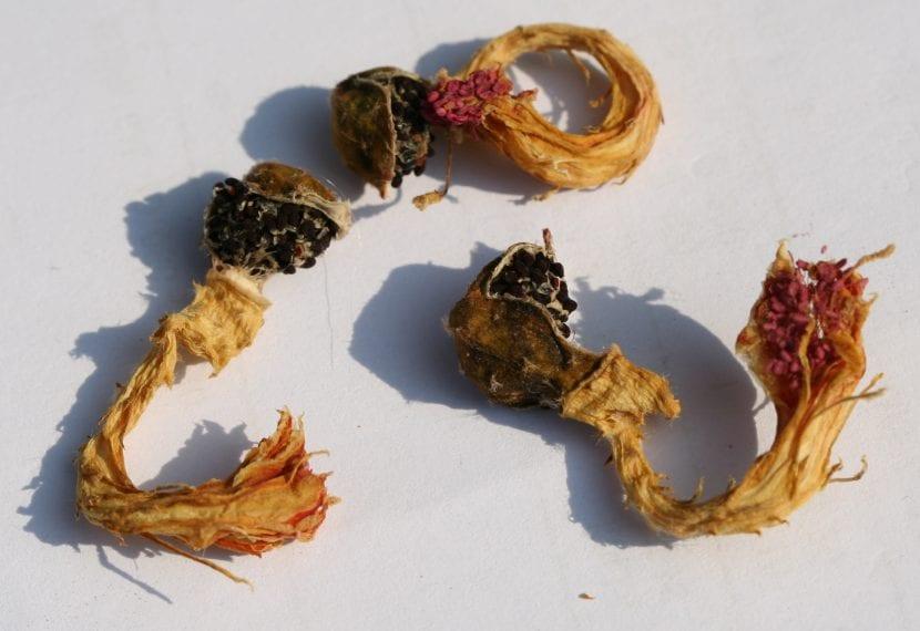 Frutos de Cleistocactus colademononis