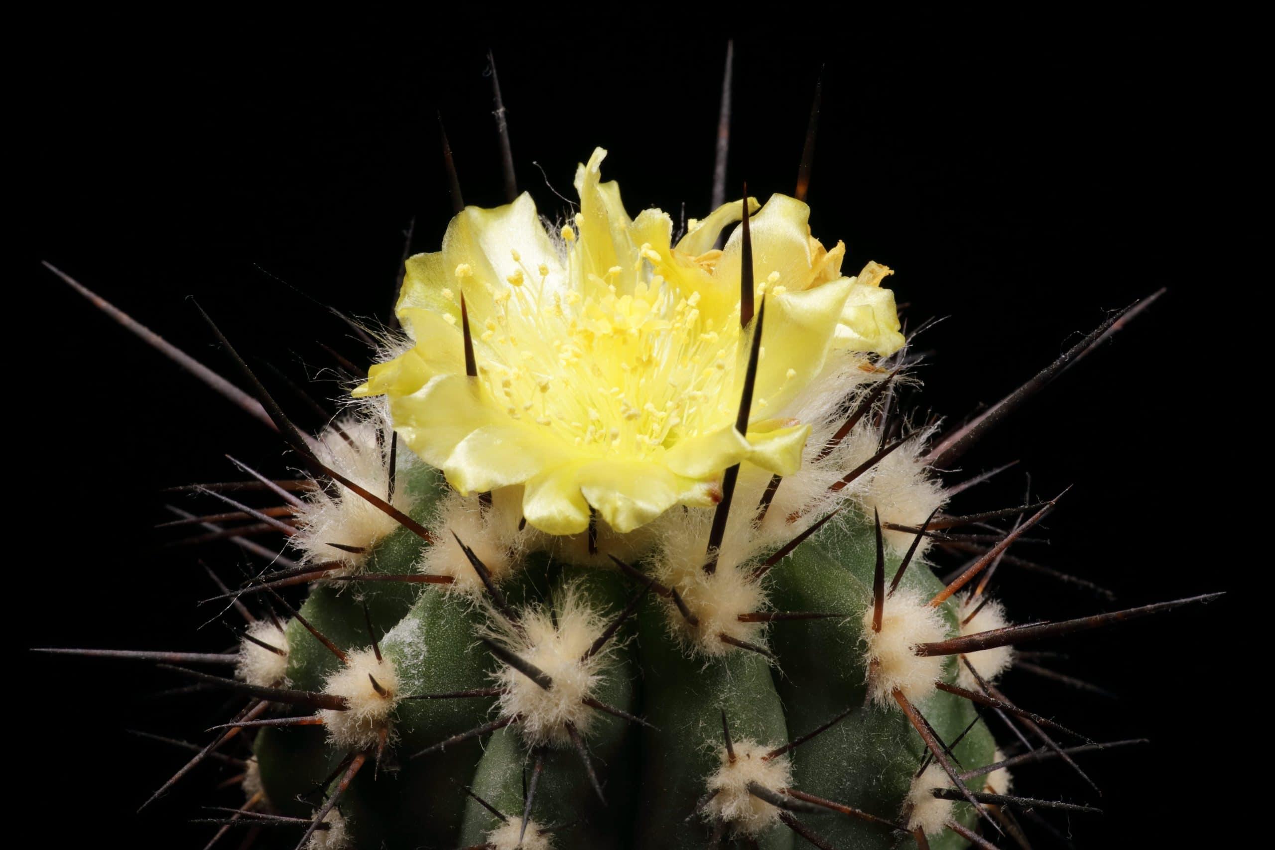 Copiapoa calderana en flor