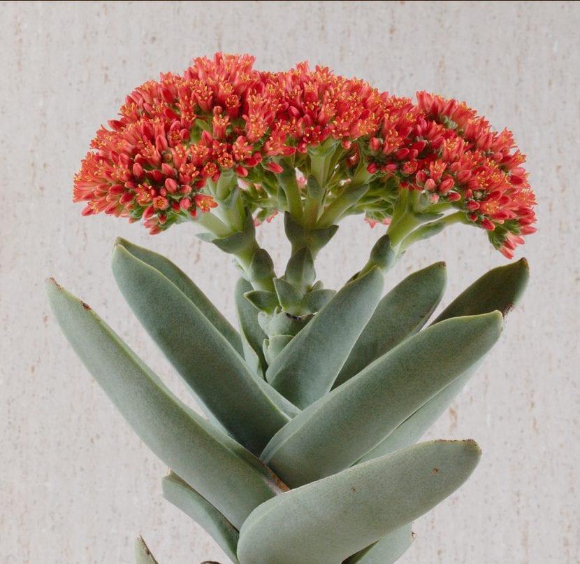 Crassula falcata en flor