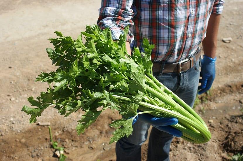 Plantar apio en tu jardín