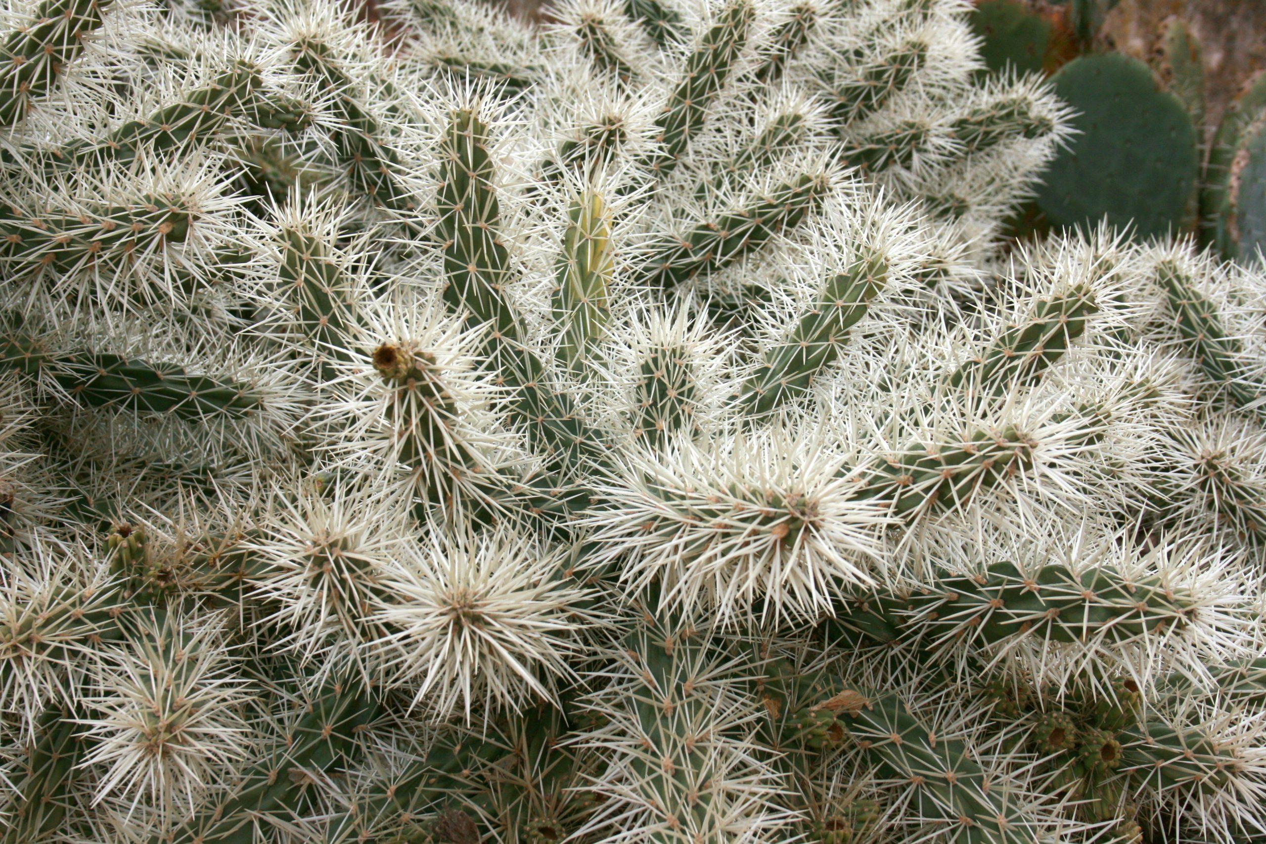 Cylindropuntia tunicata