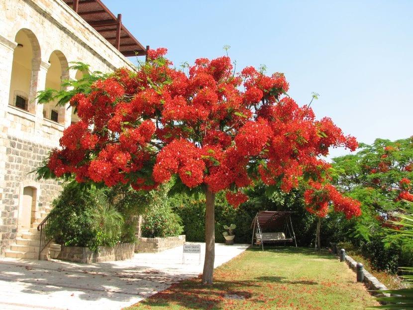 Delonix regia o flamboyán en flor
