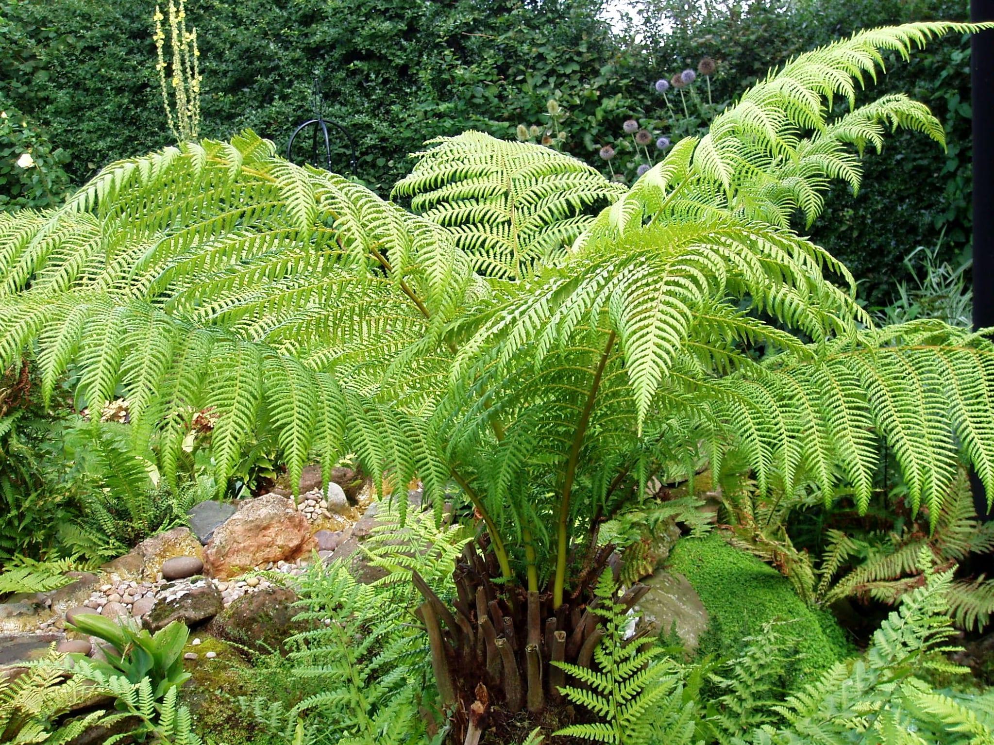 5 plantas sin flores para jard n o maceta for Planta ornamental helecho nombre cientifico