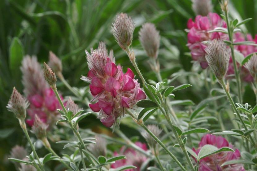 Ebenus cretica en flor