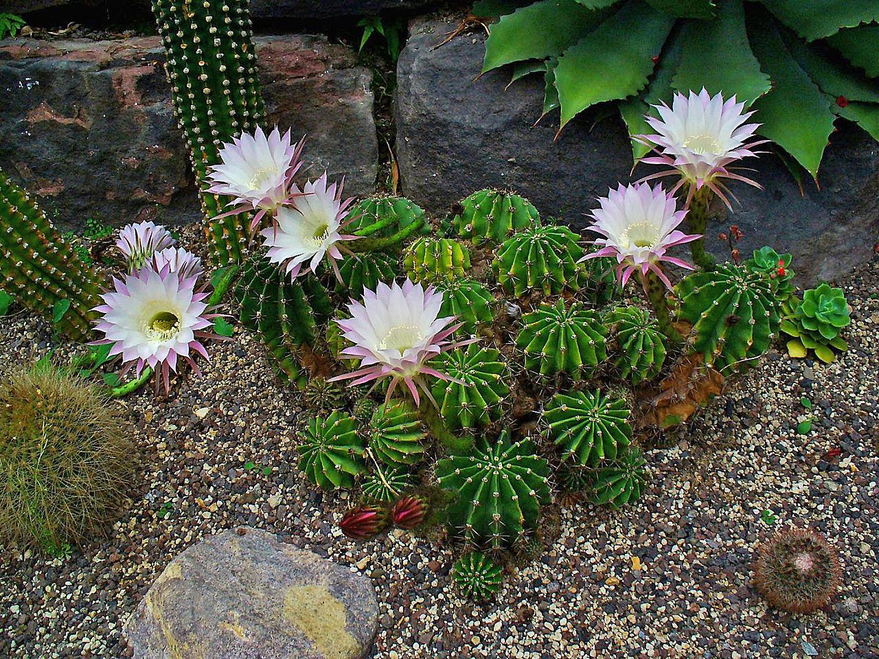 El Echinopsis oxygona es un cactus pequeño que aguanta muy bien el frío.