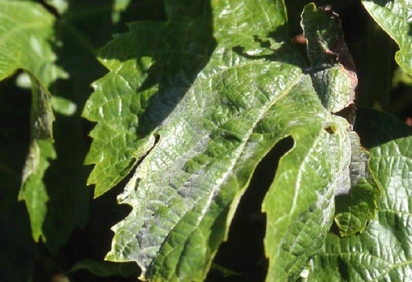 enfermedad hojas