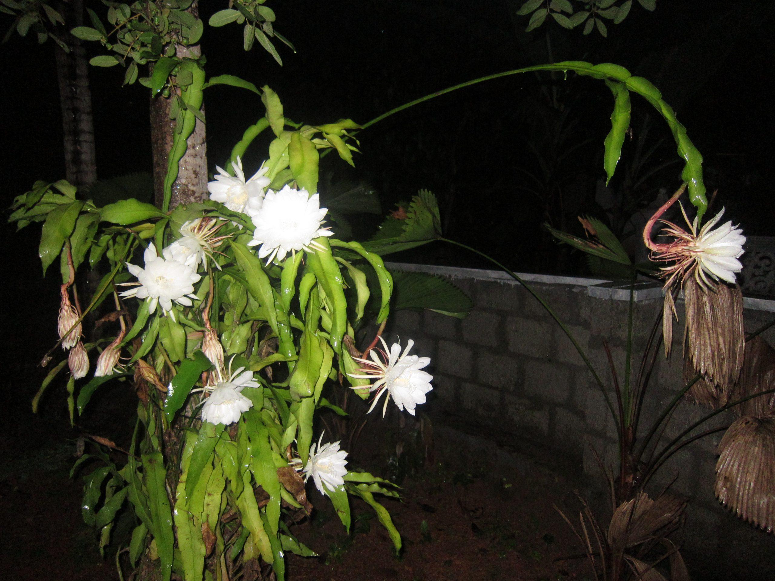 Epiphyllum oxypetalum en flor