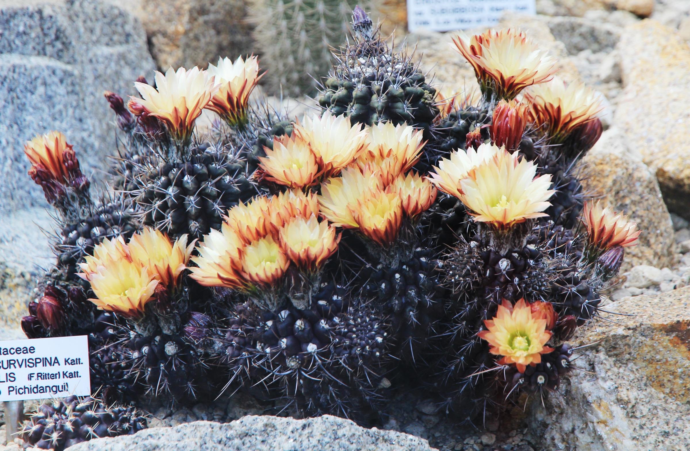 Eriosyce curvispina en flor