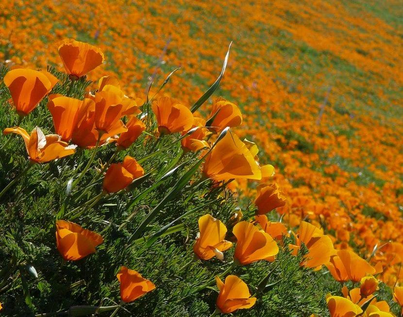 Eschscholzia california, amapola californiana en hábitat