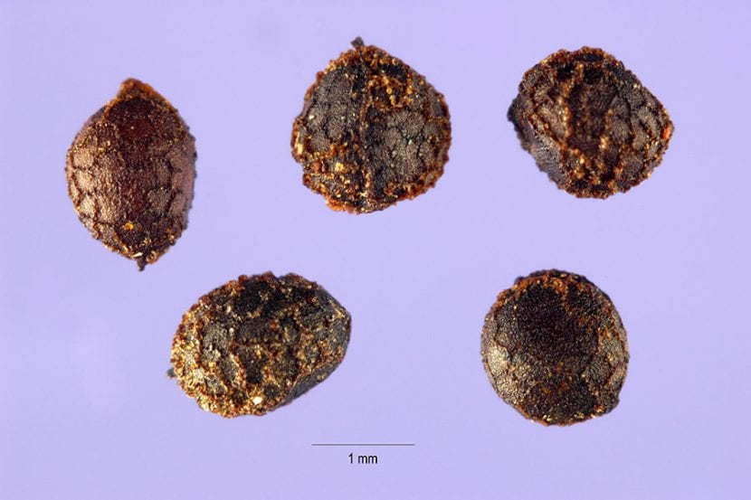 Semillas de la Eschscholzia californica o amapola de California