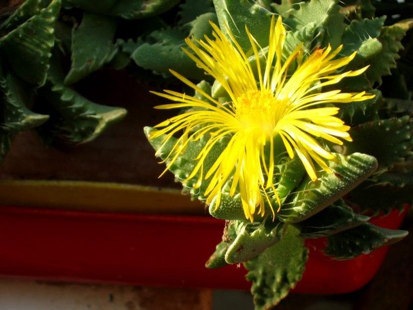 Faucaria tigrina en flor