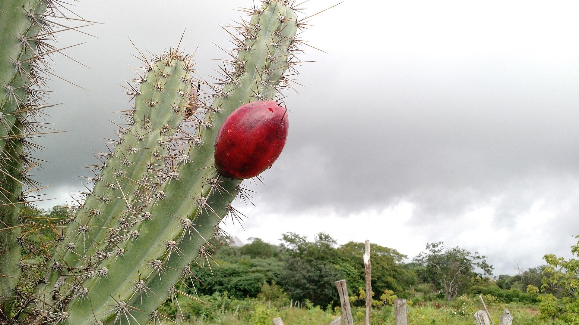 Fruto de Cereus validus