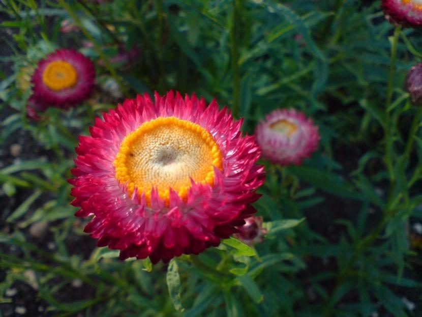 Helichrysum bracteatum, nombre de la Flor de papel