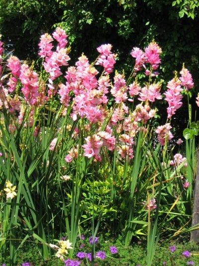 Plantas de Ixia en flor