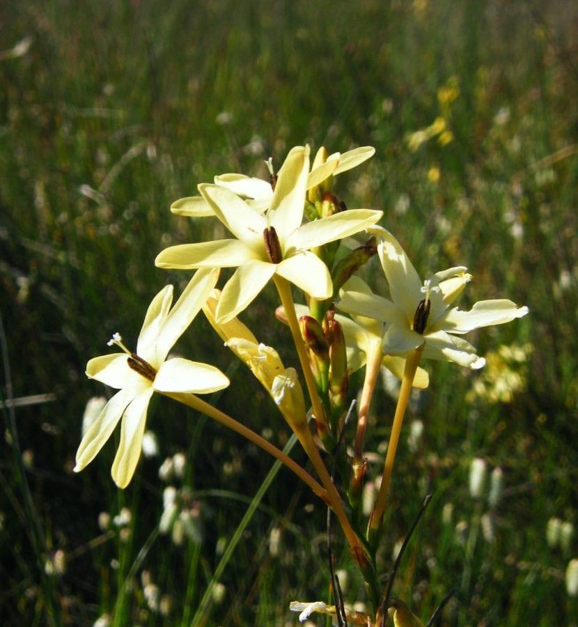 Ixia paniculata en floración