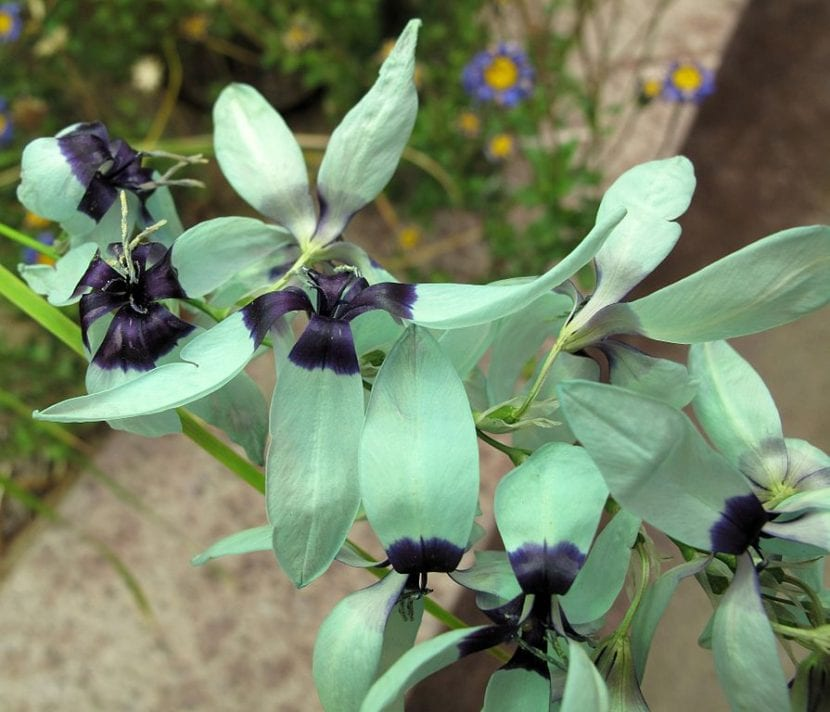 La curiosa Ixia viridiflora