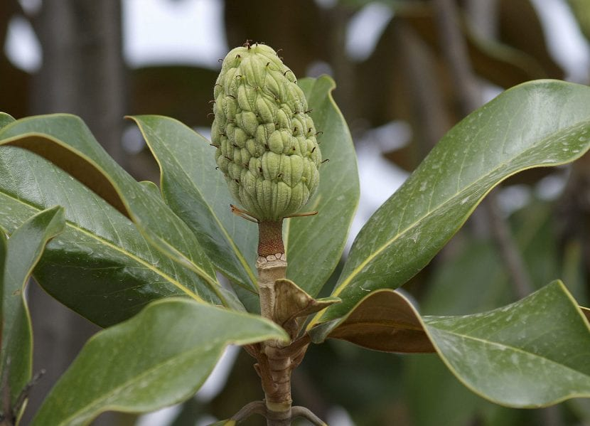 Fruto de Magnolia grandiflora