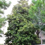 La magnolia es una planta perennifolia
