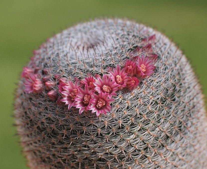 Cactus de Mammillaria pseudoperbella en flor