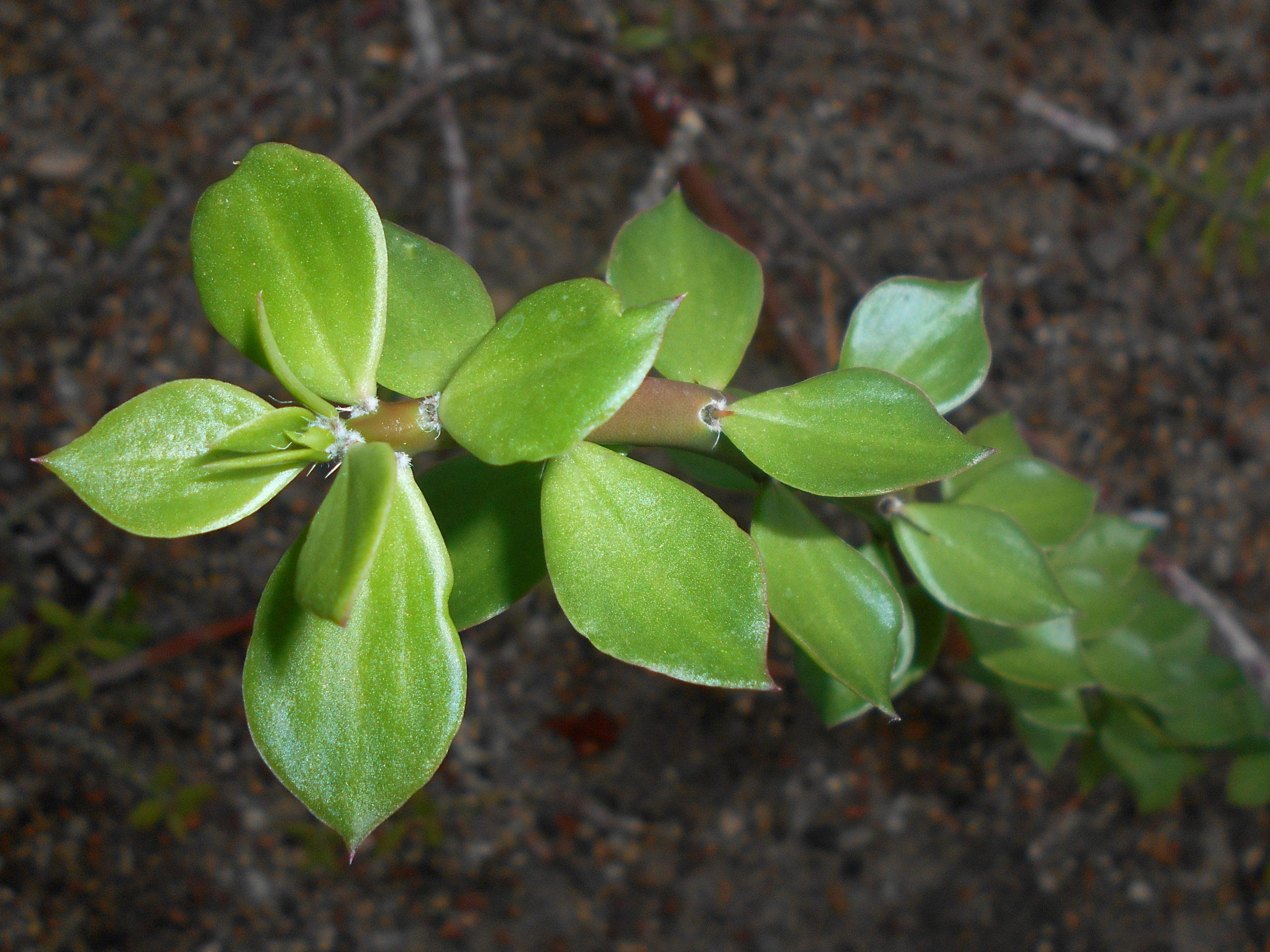 Pereskiopsis spathulata detalle