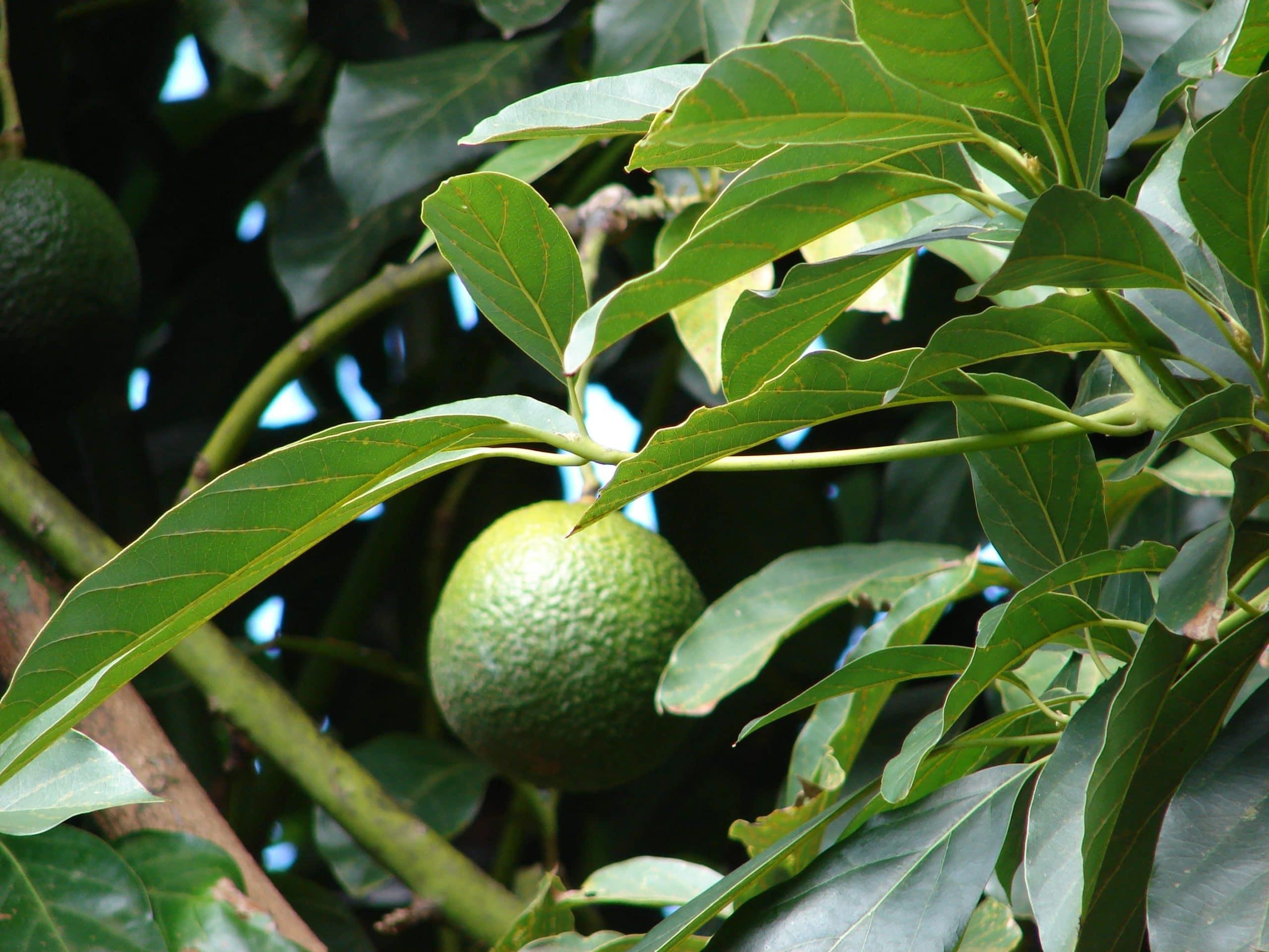 Hojas y fruto de Persea americana