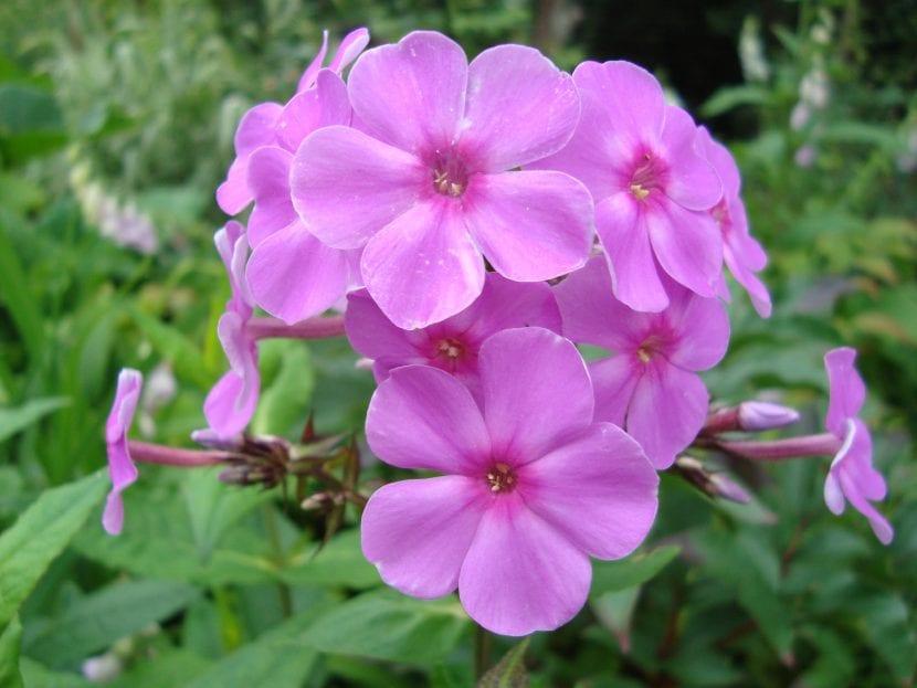 Plox arendsii en flor