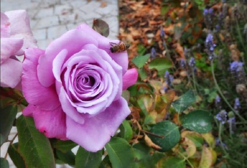 plantar rosales en abril