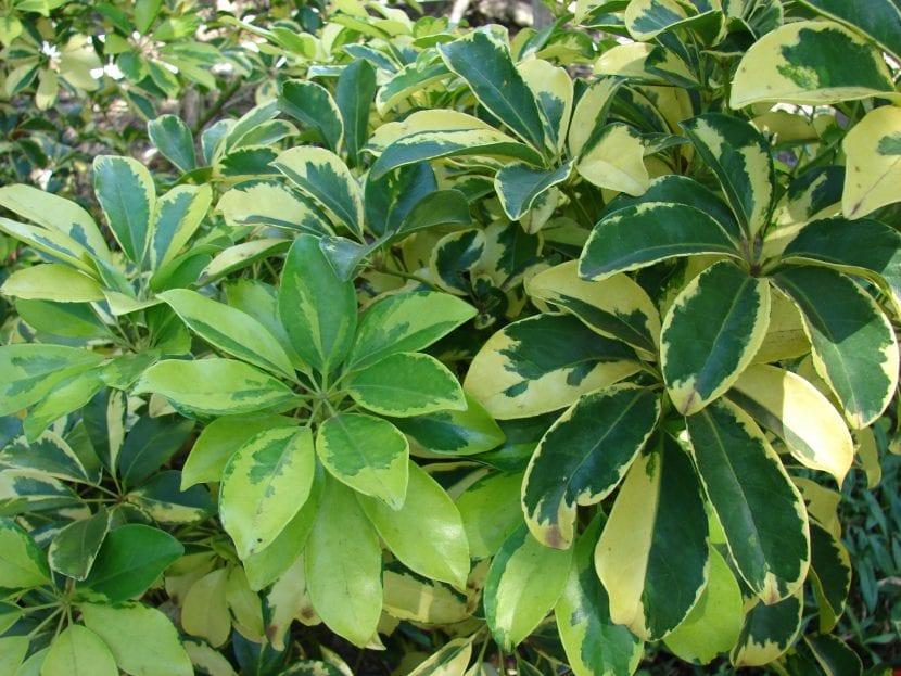 Schefflera arboricola, vista de sus preciosas hojas