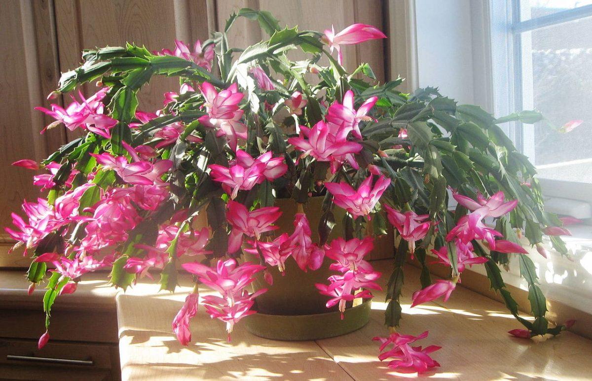 El cactus de navidad es una planta colgante que crece a buen ritmo